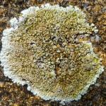 Lecanora muralis - crustose lichen