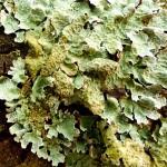 Parmelia sulcata - foliose lichen