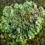Punctelia subrudecta - foliose lichen