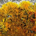 Xanthoria parietina - foliose lichen