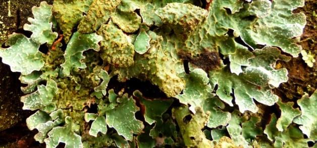 lichen slide