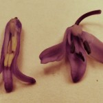 Anthers of Native bluebell (left) and Spanish Bluebell (right)