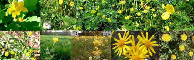 Dr ms yellow flower plant quiz all the answers dr m goes wild id tips grey green pinnately lobed leaves with orange latex flowers like small yellow poppies poisonous habitat hedgebanks walls and waste ground mightylinksfo