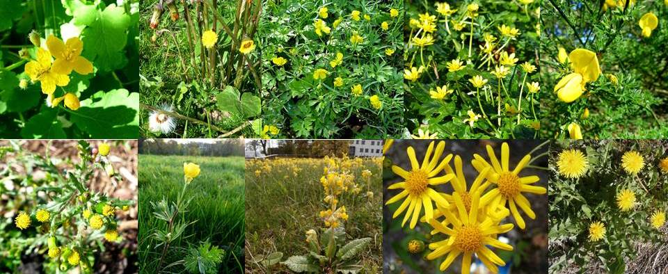 Dr Ms Yellow Flower Plant Id Quiz The Answers Dr M Goes Wild