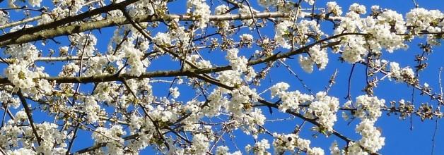 love of white prunus 3