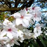 Blossom C