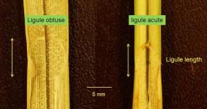 Carex ligules