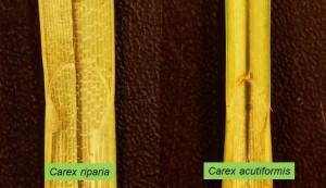 Carex spp
