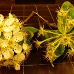 Blossom B