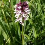 Neotinia ustulata (Burnt-tip Orchid)