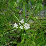 Fine-leaved Water Dropwort