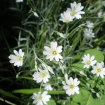 Stellaria palustris (Marsh Stitchwort)