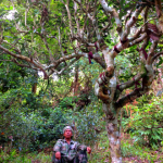 Ancient Camelia sinensis (Tea tree)