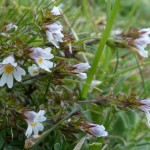 Euphrasia sp. (An Eyebright)