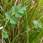 F (basal leaves)