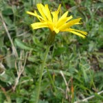 Leontodon hispidus (Rough Hawkbit)