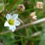 Linum catharticum (Fairy Flax)