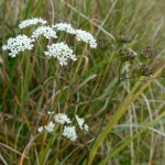 Pimpinella saxifraga (Burnet Saxifrage)