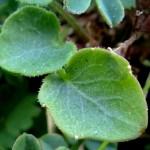 White hydathodes around leaf margin