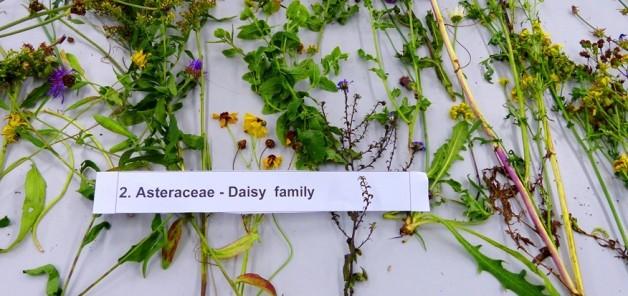Assteraceae