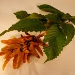 Carpinus betulus (Hornbeam)