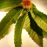 Castanea sativa (Sweet Chestnut)