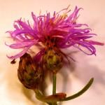 Centaurea cf. debeauxii (Chalk Knapweed)