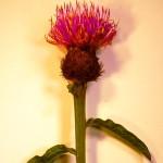 Asteraceae - alternate leaves
