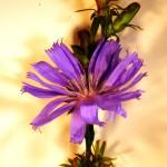 Chichorium intybus (Chicory)