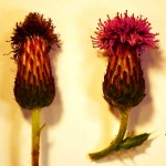 Cirsium arvense (Creeping Thistle)