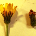 Crepis capillaris (Smooth Hawk's-beard)