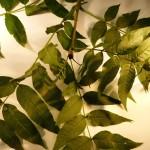 Fraxinus excelsior (Ash)
