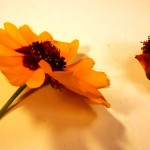 Coreopsis sp. (Tickseed)