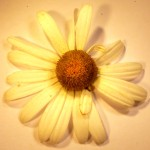 Leucanthemum vulgare (Oxeye Daisy)