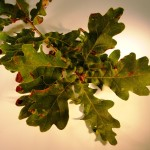 Quercus robus (Common Oak)