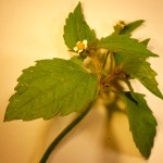 Asteraceae - opposite leaves