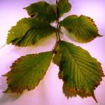 Ulmus glabra (Wych Elm)
