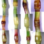 Poaceae nodes