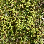 Thalloid liverwort - Marchantia