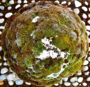 Acrocarp mosses on concrete bollards