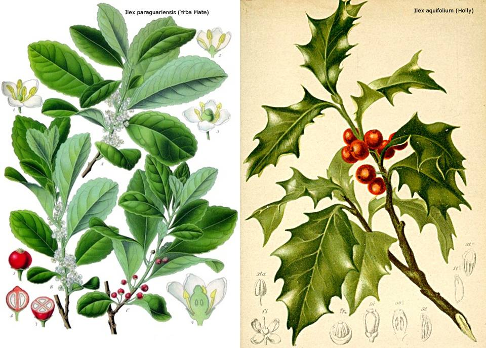 Is Mistletoe a Medicinal Plant or a Parasite Episode