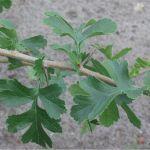 crataegus thorn