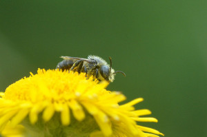 Osmia spinulosa (Solitary bee), visiting Fleabane