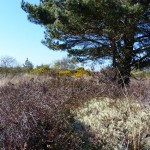Calluna and Pinus