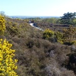 Gorse and Dry heath