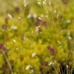 2 Silver Hair-grass