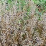 12 Fern Grass