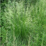 19 Tufted Hair Grass