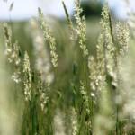 29 Silver Hair-grass