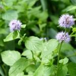 12 Aromatic wetland plant